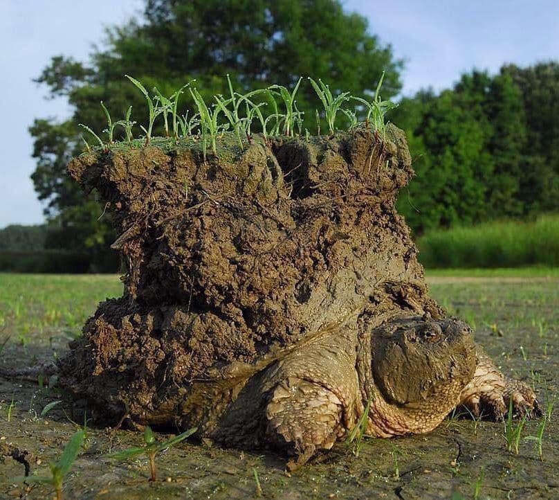 Schnappende Schildkröte mit Erde auf dem Rücken